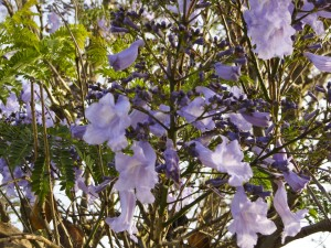 Jacarandas in Bloom
