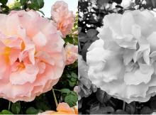 positive_negative_roses
