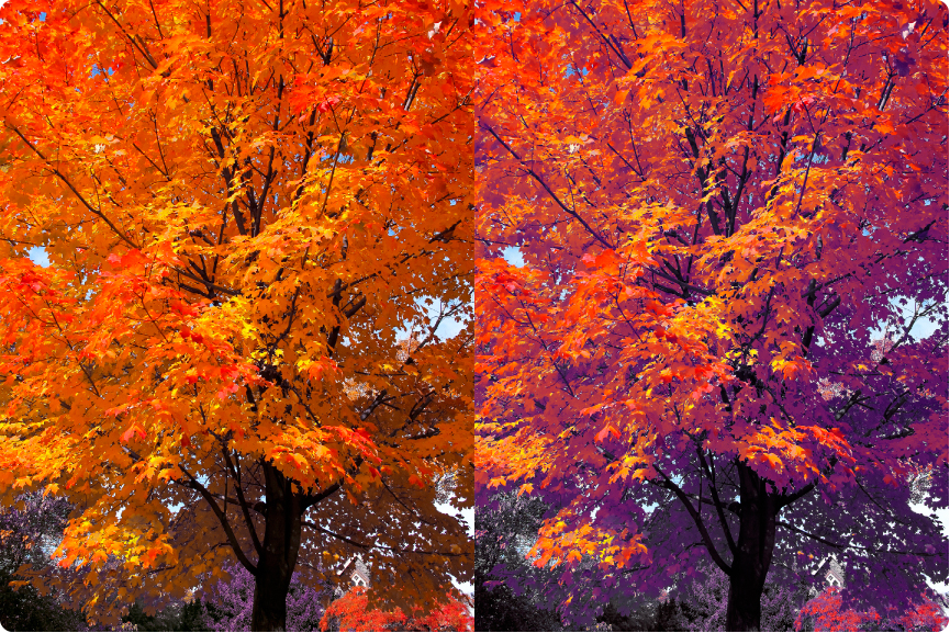 sugar_maple_foliage