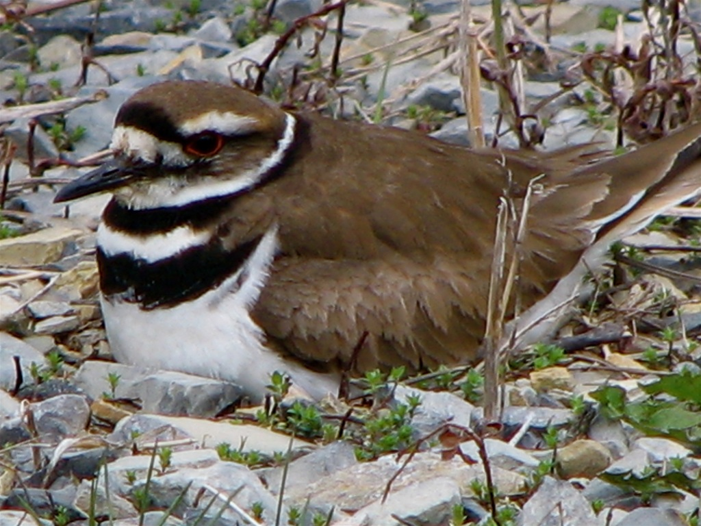 Killdeer_(Charadrius_vociferus)_-female_on_nest