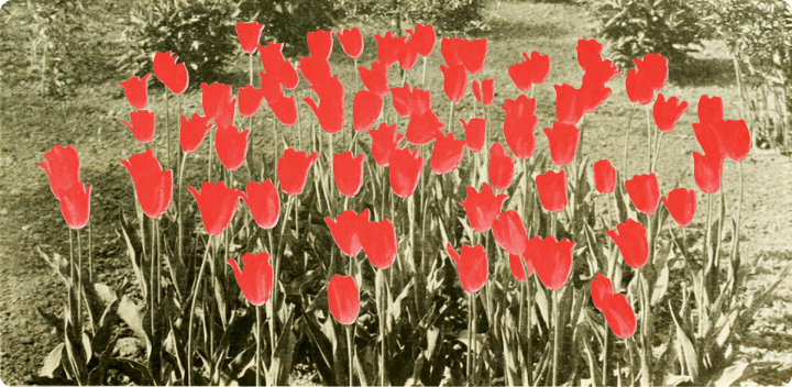 tulips_colored_red